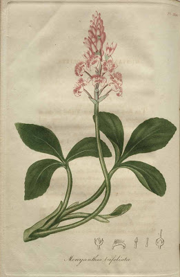 menyanthes trifoliata - buck bean