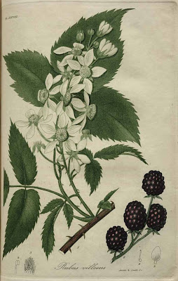 rubus villosus - tall blackberry