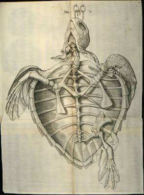 turtle anatomy without organs