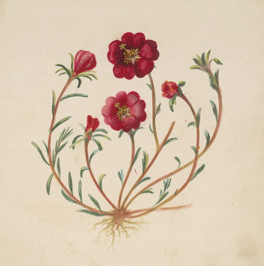 [California+flowering+plant+-+Plant+with+five-petalled+pink+flowers.jpg]