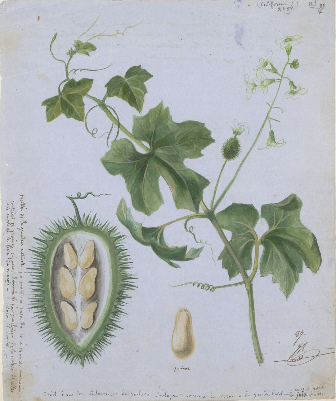 [California+flowering+vine+-+Stem+with+small+white+flowers,+seed+pod,+and+individual+seed.jpg]