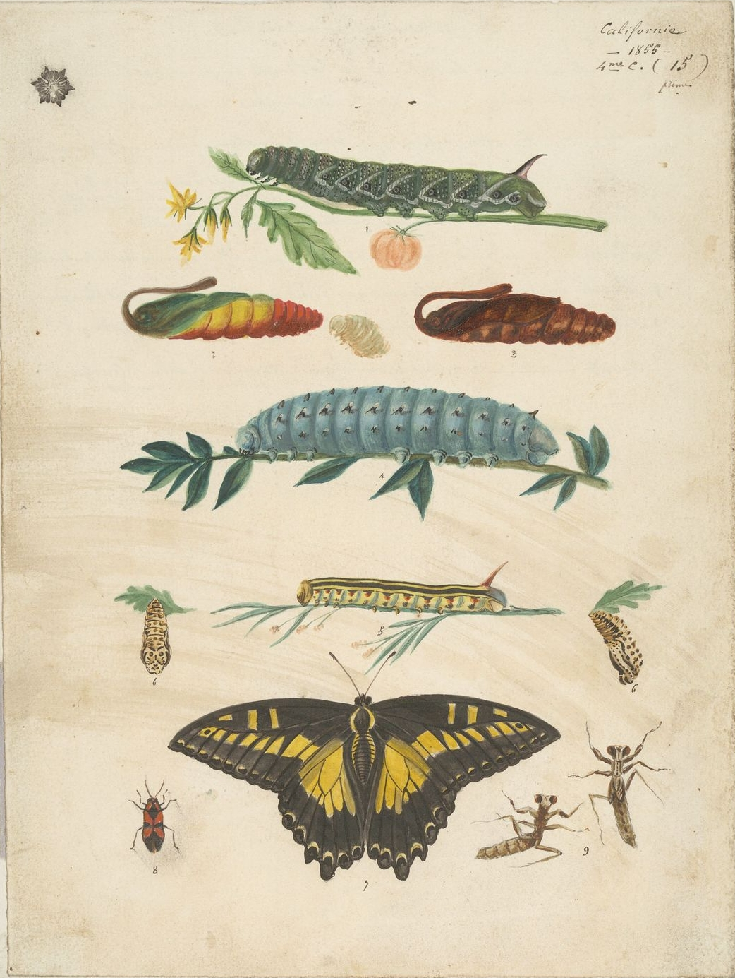 [Caterpillars,+chrysalises,+a+butterfly,+and+insects+of+California.jpg]