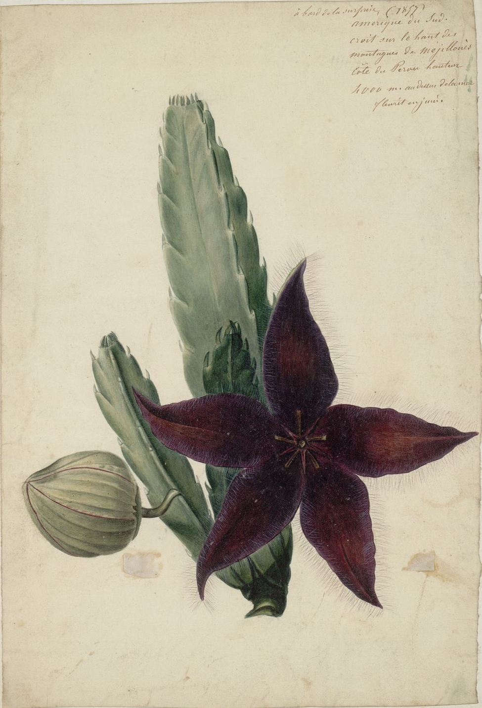 [Peruvian+flowering+cactus.jpg]