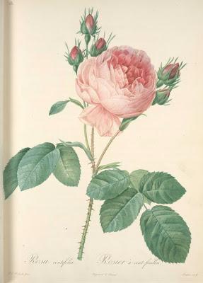 Rosa Centiflora