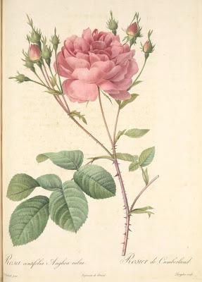 Rosa Centifolia Anglica