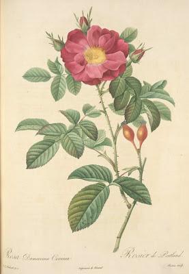 Rosa Damascena Coccinea