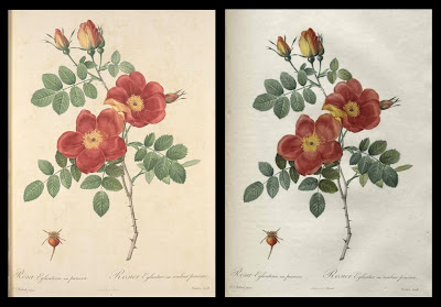 2 images of Rosa eglanteria