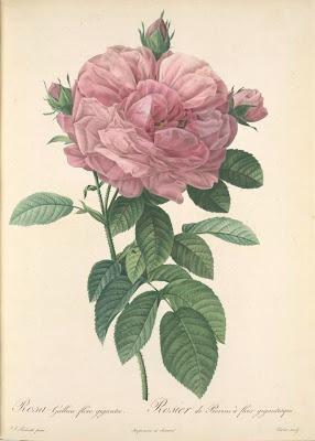 Rosa Gallica Flore giganteo
