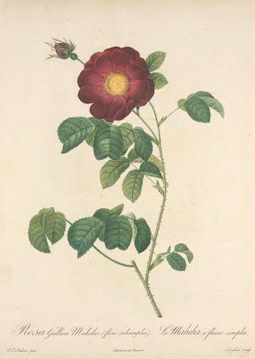 Rosa Gallica Maheka (Flore Subsimplici)