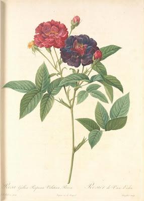 Rosa Gallica Purpurea Velutina