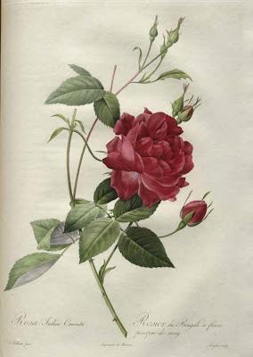 Rosa Indica Cruenla