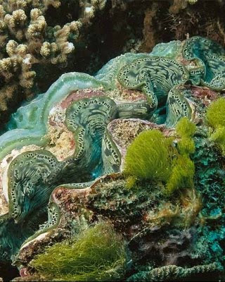 Giant Clam Shell Live