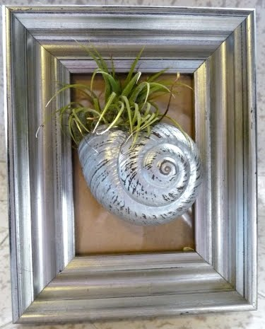 Tillandsia air plant in shell
