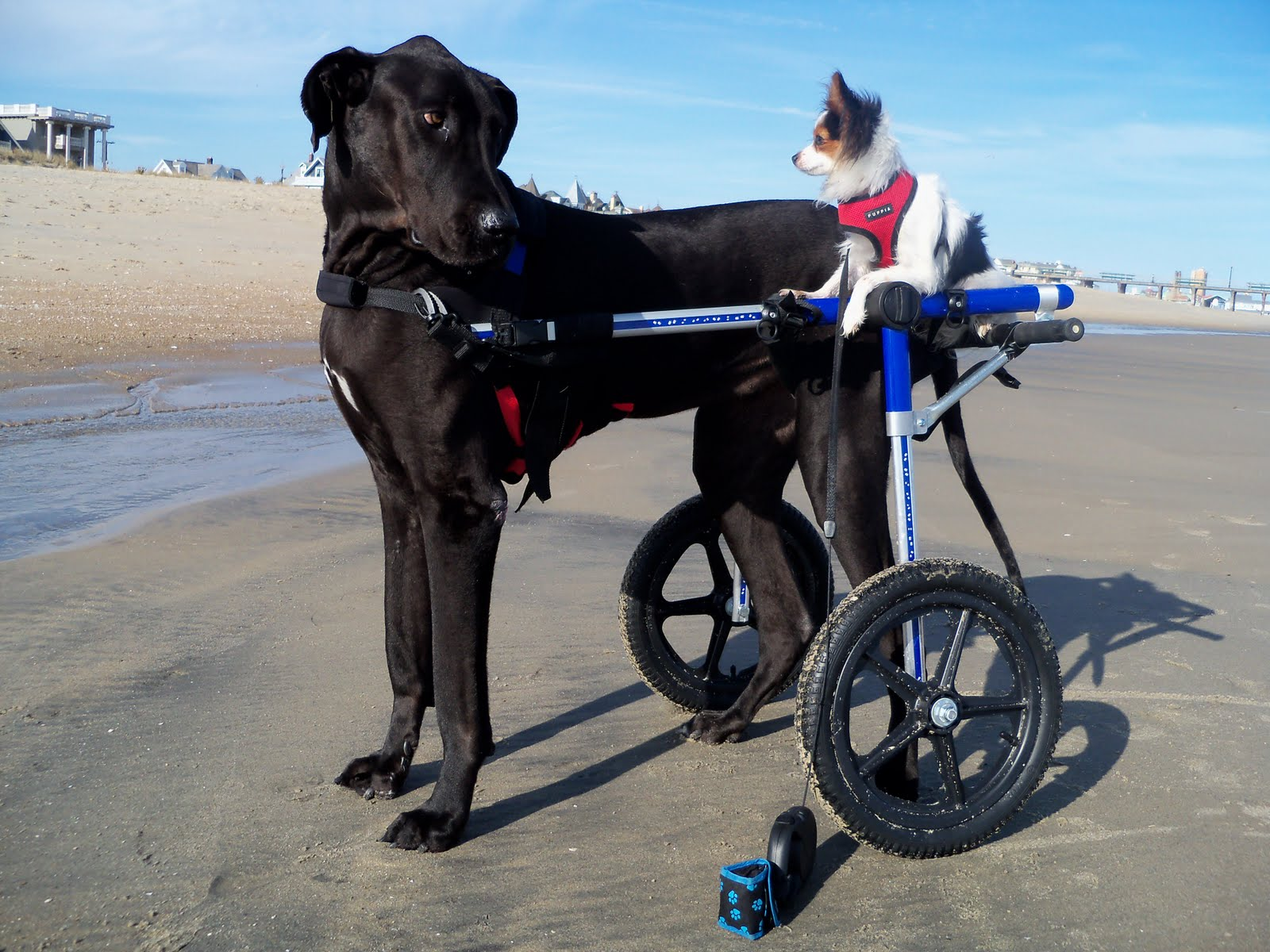 wheel chairs for dogs steel ergonomic chair handicapped pets beach boys at play with dog wheelchairs