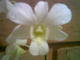 Orquideas Aurea Delpha Alba