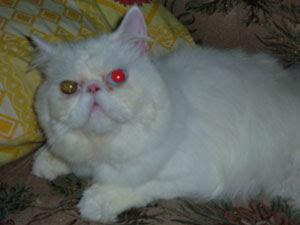 Tentang kucing persia