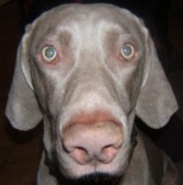 Crazy Harvey Weimaraners Contents