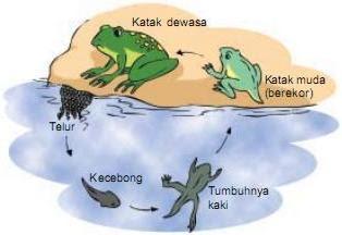metamorfosis katak membutuhkan waktu sekitar