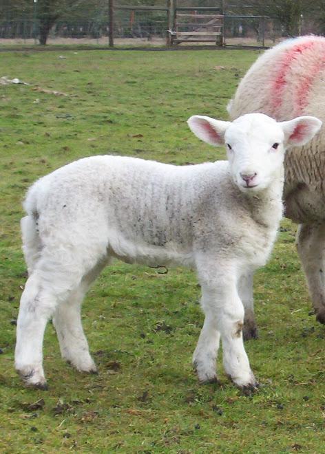 'Whata' lamb !