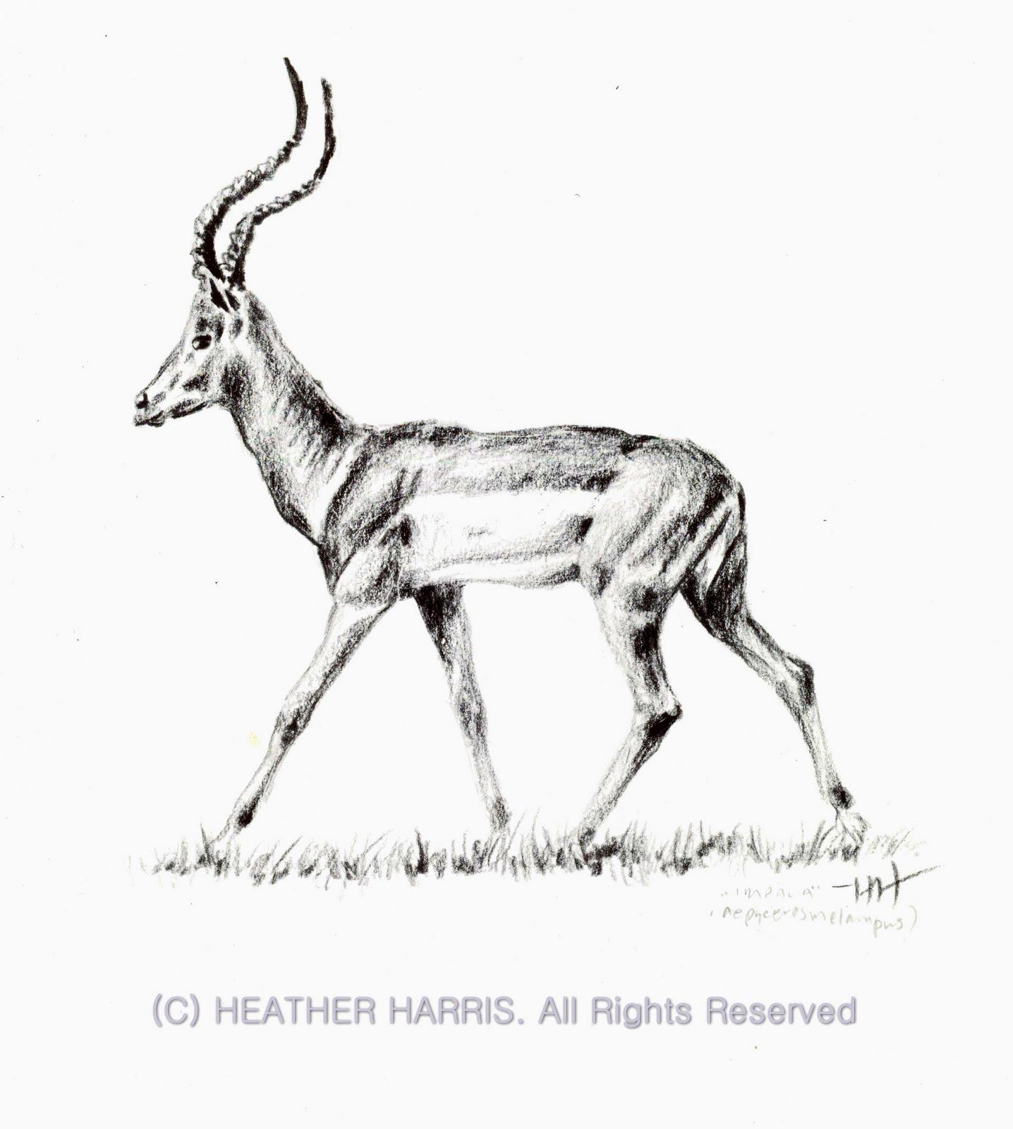 Impala Animal Drawing