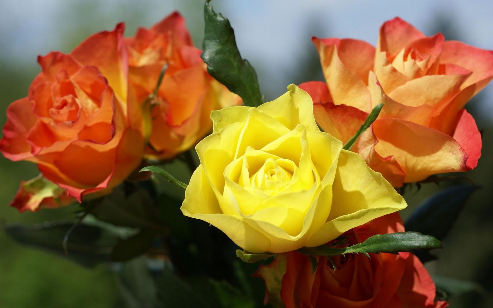 Desktop inspiratoin beautiful rose flower wallpaper - Rose screensaver ...