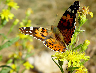 the painted little butterfly essay They arrive in utah and surrounding states by the billions, vastly multiplying along their migratory routes toward the north pole, but the painted lady butterflies, considered insects, don't hurt.