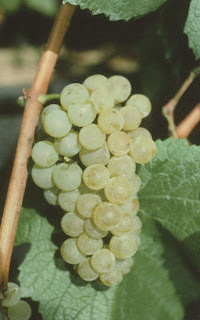 Cépage Chardonnay B