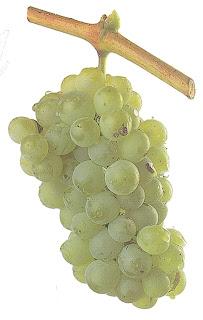 Raisins de cuve blancs : Grenache blanc.