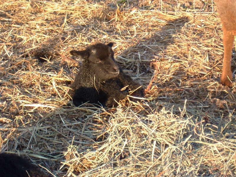 [Petunia's+ram+lamb-1+hr+old-resting.JPG]
