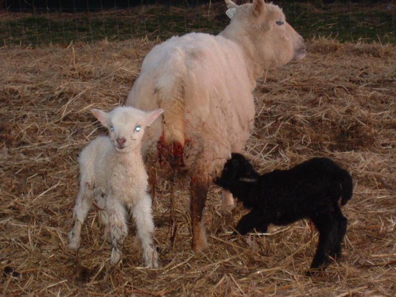 [Daisy's+ewe+and+ram+lambs.JPG]