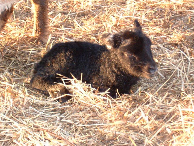[Daisy's+ram+lamb-30+min+old-resting.JPG]
