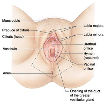 مهبل المراة من الداخل,the woman's vagina