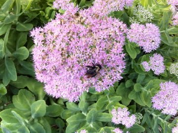 Pollinating Away on a Sedum