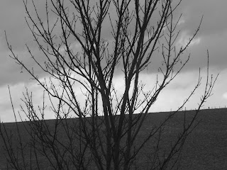 tree branches black and white