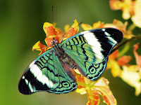 butterflies background wallpaper green butterfly background