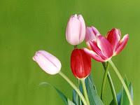 tulip flower pictures of tulips wallpaper tulip wallpaper