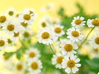 daisy wallpaper white flower wallpaper pictures free flower wallpapers