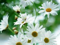 1024x768 wallpaper daisy flower wallpaper flower desktop background