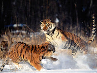 tiger attack tigger desktops