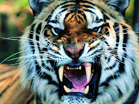 tigger wallpapers tige wallpaper tiger picture