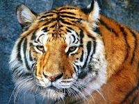 tiger eye of the tiger desktops big cats wallpaper