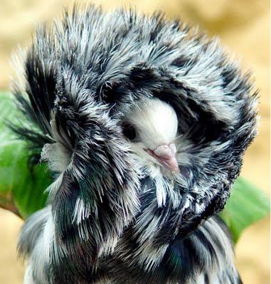 jacobin pigeon - photo #32