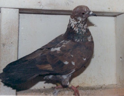 Doves For Sale >> Birmingham Roller Pigeon Pictures ~ ENCYCLOPEDIA OF PIGEON BREEDS