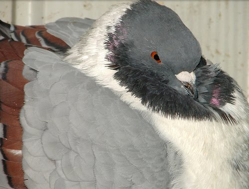 Doves For Sale >> Gazzi Modena Pigeon Pictures ~ ENCYCLOPEDIA OF PIGEON BREEDS