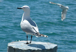 Black-Billed_Gull dans Liens