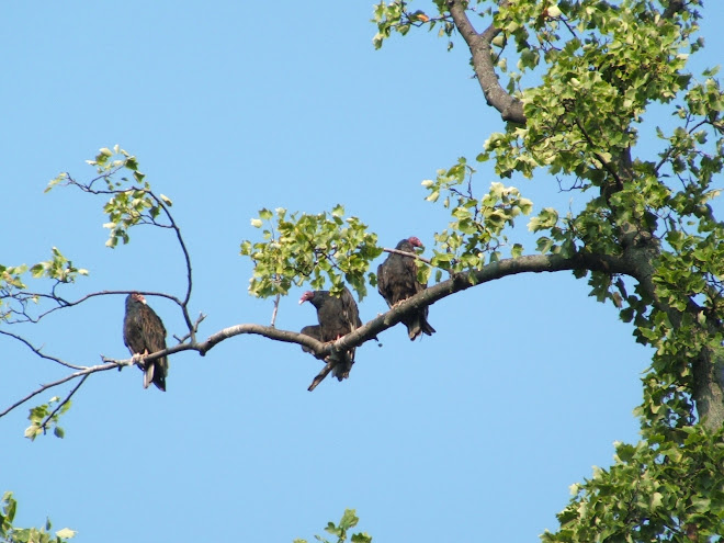 Buzzards in Ohio