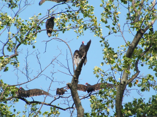 Ohio Buzzards