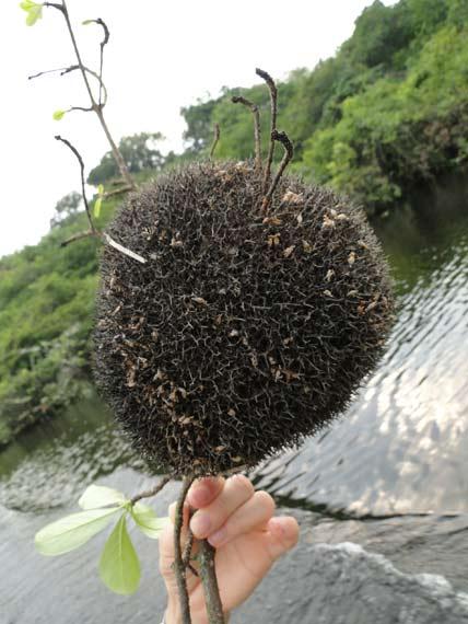 Imagem de coral amazonico