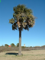 Palmetto Tree at Fort Moultrie in Charleston SC