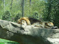 Lion napping at Greenville Zoo